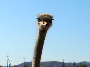 An ostrich's eyes take up 2/3 of their head