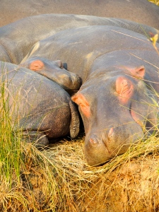 Sleepy baby hippo! So cute!