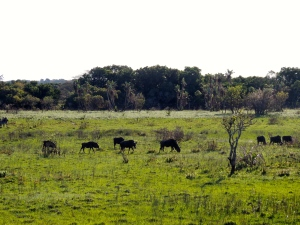 Wildebeest grazing in the lowlands
