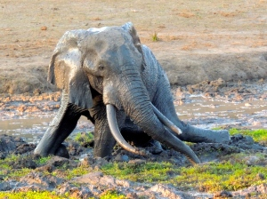 Tusker having a mud bath