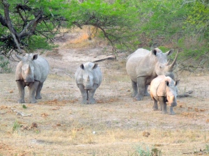 Thirsty rhinos
