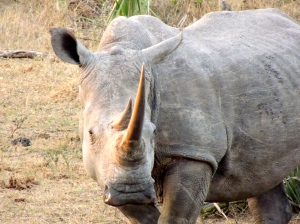 Papa white rhino - you can tell a white and black rhino apart from the shape of their lips; white rhinos have a flat lip, whereas black have a more beaked lip