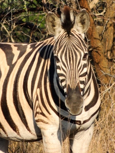 Zebras are gorgeous