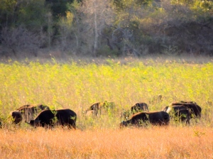 Herd of buffalo and wildebeest