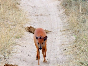 Hungry red duiker