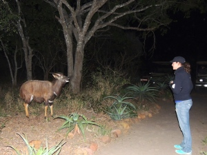 This nyala had some kind of mental deficiency