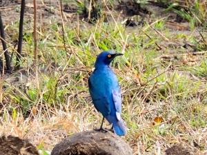 The Yellow Eyed Blue Bird