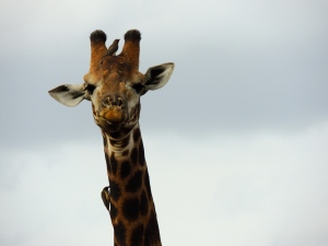 Giraffe and his bird bros
