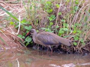 The Red-Beaked Ibis