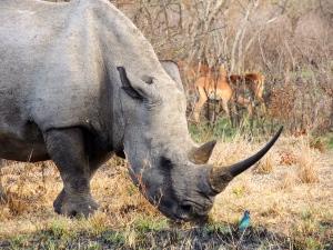 Impressive beast of a rhino