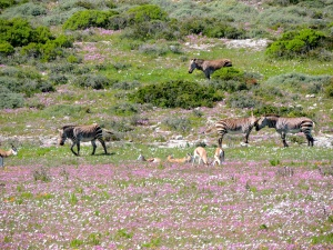 Zebras and antelope in the flowers