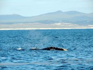 Huge whale!