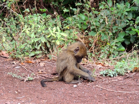 Baby babooon