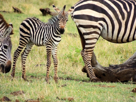 But baby zebras always make the blog, regardless of the size of their herd