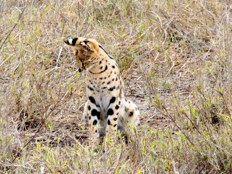 Serval cat!