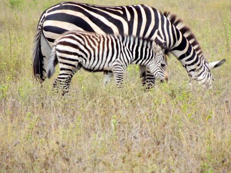 Always baby zebras