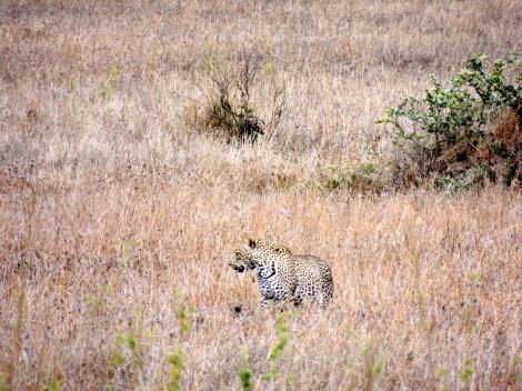 First leopard!