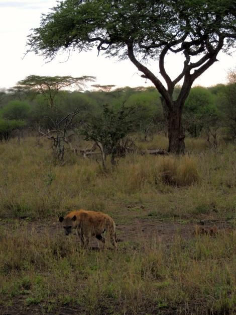 Hyena in the sunset