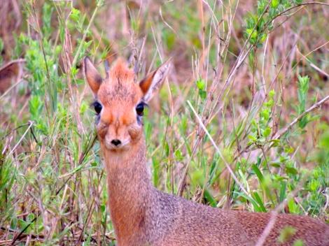 Dik-dik, the smallest antelope