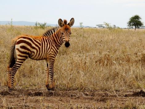 I promised you baby zebras