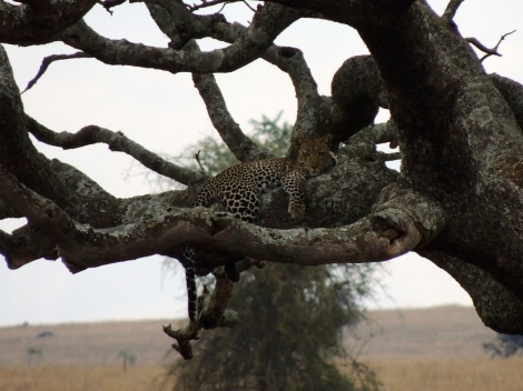 More leopard!