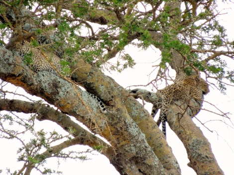 Two leopards in one tree!