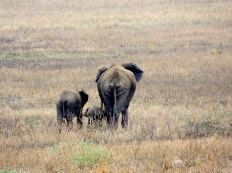 The many sizes of elephants