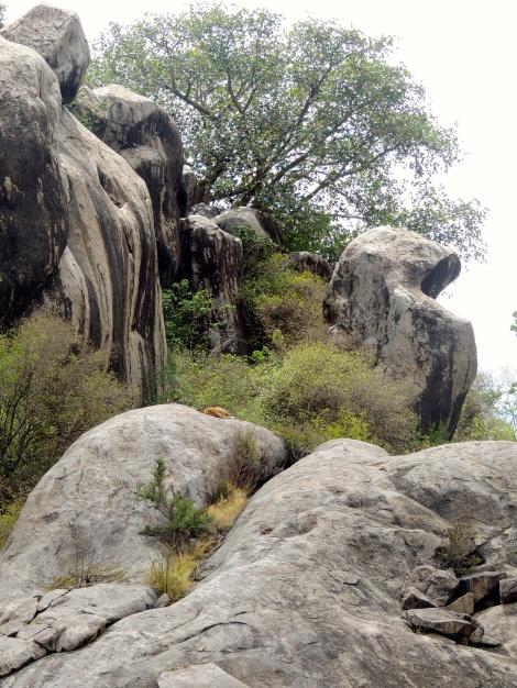 Lion sleeping on a rock! Pride Rock!