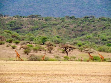 So many giraffes!