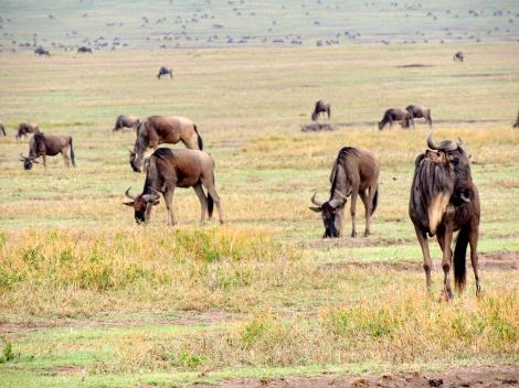 Wildebeest/gnus