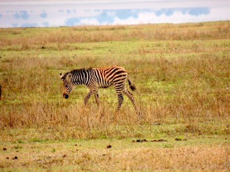 An old favourite - BABY ZEBRA! (Have you seen enough baby zebras yet?)