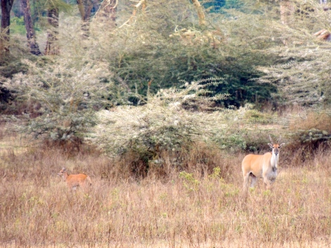 Eland - the largest antelope - a particularly shy animal, so I was excited to see one
