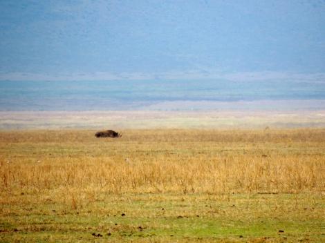 Black rhino in the distance