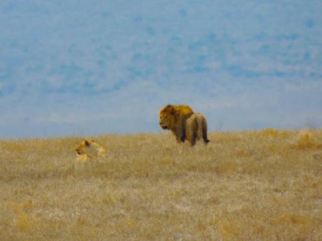 Simba and Nala, looking as majestic as ever