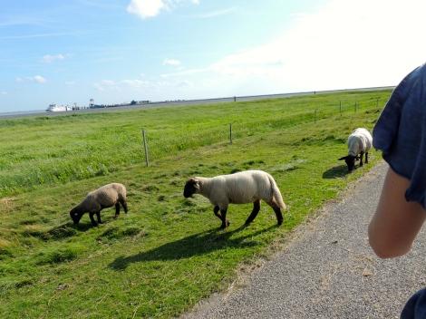 Sheep buddies