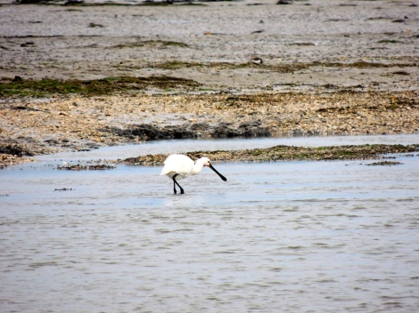 Spoonbills! Which are also on their way to Africa! This could be one of the very same spoonbills I saw in Africa. Neature, am I right!